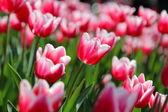 Beautiful Tulips in the morning Sun — Stock Photo