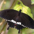 A black butterfly — Stock Photo