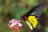 Flying golden butterfly — Stock Photo