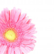 Stock Photo: Flower pink gerberisolated