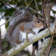 Grey Squirrel on a Branch in the South — Stock Photo