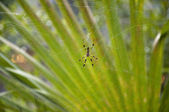 Golden Silk Spider — Stock Photo