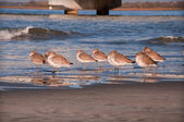 Flock of Sleeping Willets on the Shore — Stock Photo