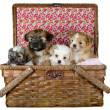 Shih -Tzu  Puppies in a picnic basket - Stock Photo