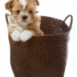 A cute brown puppy in a basket — Stock Photo