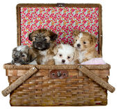 Shih -Tzu Puppies in a picnic basket — 图库照片