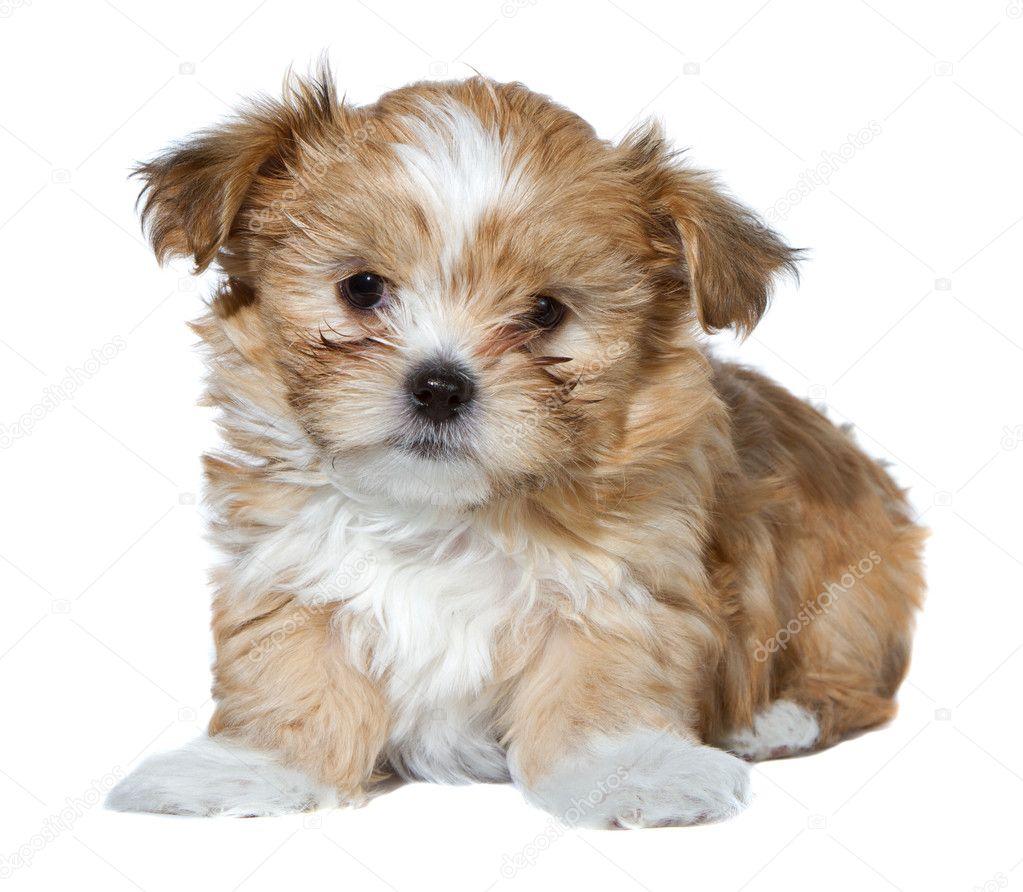 可爱的棕色和白色小狗坐上孤立的白色背景