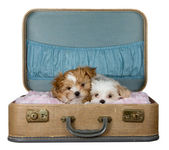 Two small puppies in a vintage suitcase — Stock Photo