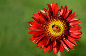 Lady bug on flower (Gaillardia x grandiflora Burgundy) — Stock Photo