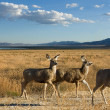 Mule deer in a scenic landscape — Stock Photo