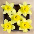 Daffodils arranged in a square pattern — Stock Photo