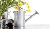 Daffodil and watercan still life — Stock Photo