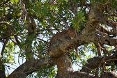 Leopard na stromě — Stock fotografie