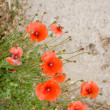 Stock Photo: Wild red poppy