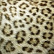 Dots pattern of leopard fur — Stock Photo