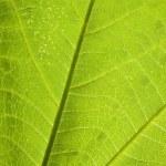 ������, ������: Grean leaf veins