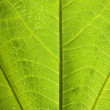 Постер, плакат: Grean leaf veins