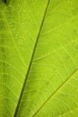 Grean leaf veins — Stock Photo
