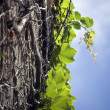 Abstract background of  vine plant - Foto de Stock