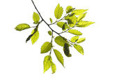 Close up of twig with leaves — Stock Photo