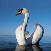 Krásná bílá labuť plavání na modré vody — Stock fotografie