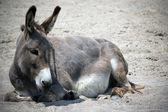 Animal de l'âne — Photo