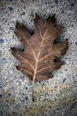 色あせたオークの葉のクローズ アップ — ストック写真