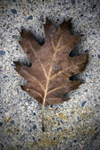 Closeup of faded oak leaf — Stock Photo