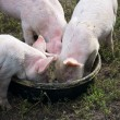 Stock Photo: Feeding three pink piglets