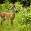 Young deer looking away — Stock Photo