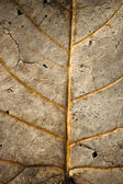 Faded leaf veins — Stock Photo