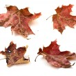 Autumn red maple leaves — Stock Photo