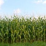 Field of corn — Stock Photo #10373722