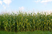Field of corn — Stock Photo