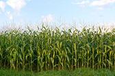 Gebied van maïs — Foto de Stock