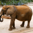 Elephant — Stock Photo #10426654