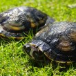 Two turtles - Stockfoto