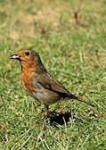 Robin in garden — Stock Photo