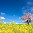 Sakura tree and rapeseed - Stock Photo