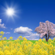 Sakura tree and rapeseed — Stock Photo