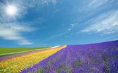 Campo de flor y un cielo azul con nubes. — Foto de Stock