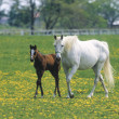 Mare and Colt on ranch — Stock Photo #8810100