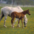 Mare and Colt on a ranch — Stockfoto
