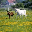 Stock Photo: Mare and colt running