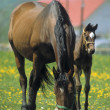 Stock Photo: Mare and Colt on ranch