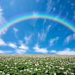 Potato field with sky and rainbow — Stock Photo