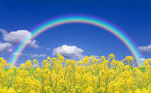 Rapeseed field and rainbow — Stock Photo