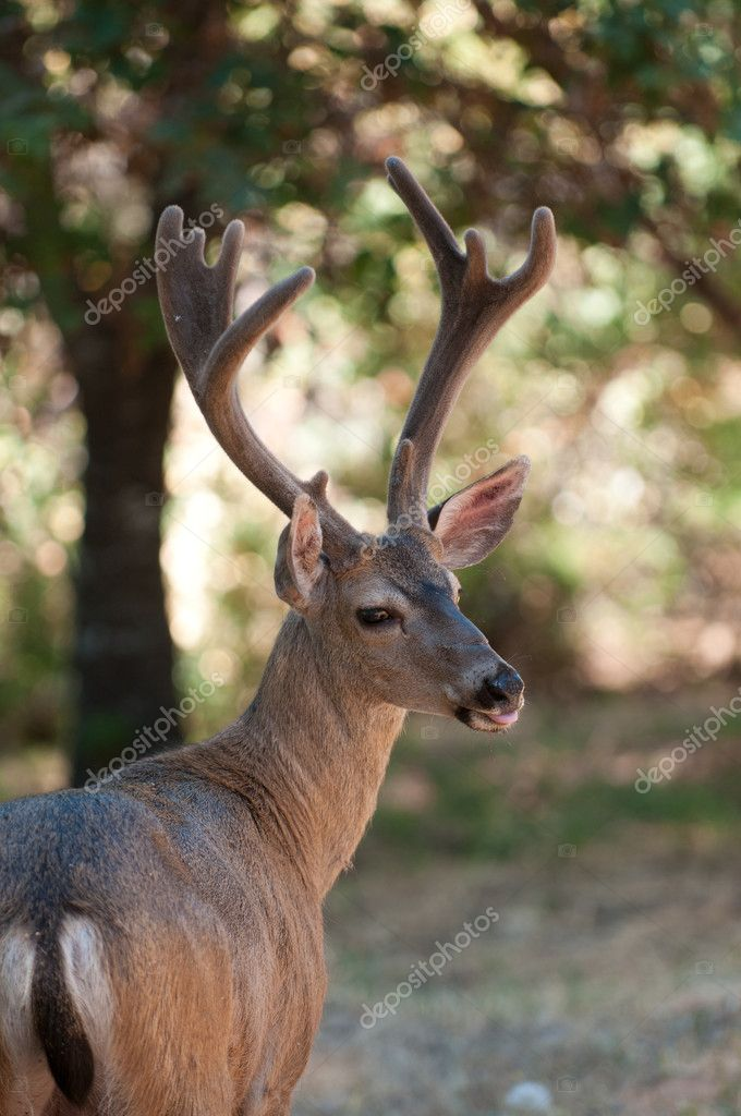 Closeup of a Black-tailed buck in velvet  Stock Photo #10478030
