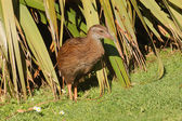 Weka, a flightless bird that is indigenous to New Zealand — Stock Photo