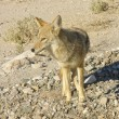 Stock Photo: Death Valley wildlife
